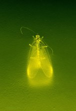 Golden insect III